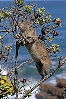 Rock Hyrax Procavia capensis adult feeding in tree, South Africa