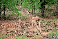 Impala Aepyceros melampus adult female, standing with young, Kruger N P , South Africa
