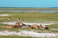 Black_backed Jackal Canis mesomelas group feeding on Wildebeest carcass, Etosha, Namibia