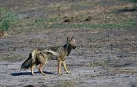 Side_striped Jackal Canis adustus Okavango, Botswana S