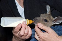 Western Grey Kangaroo Macropus fuliginosus three month old baby, orphaned after mother killed on road, being bottle fed, Western Australia