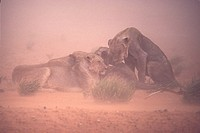 Lion Panthera leo Group in sand storm / Kalahari,Gemsbok NP / December