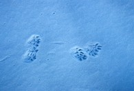 American Mink Mustela vison Footprints in snow