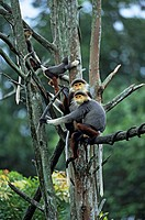 Red Shanked Douc Langur Pygathrix nemaeus nemaeus Group sitting in tree _ Captive