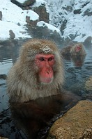 Japanese Macaque Macaca fuscata In hot spring _ Nagano, Honshu, Japan
