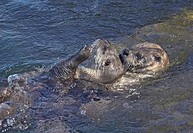 North American River Otter Lontra canadensis adult pair, playing in water, Canada