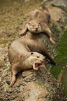 Smooth_coated Otter Lutrogale perspicillata adult pair, resting at edge of water, captive