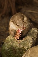 Smooth_coated Otter Lutrogale perspicillata adult, feeding on fish, on rocks, captive