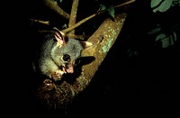 Common Brushtail Possum Trichosurus vulpecula adult feeding at night, urban park, Hervey Bay, Queensland, Australia
