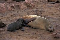 Cape Fur Seal Arctocephalus pusillus Cub suckling / Namibia