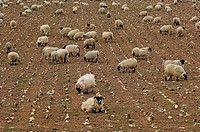Domestic Sheep, lambs fattening on root crops, Scotland