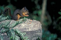 Douglas Squirrel Tamiasciurus douglasii On rock feeding