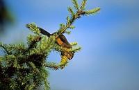 Douglas Squirrel Tamiasciurus douglasii adult, feeding on cone, Coastal Pacific Northwest, B C , Canada