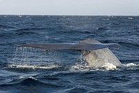 Blue Whale Balaenoptera musculus adult, tail fluke raised, preparing to dive, Sea of Cortez, Mexico