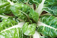 Swiss chard growing in vegetable garden, viewed from above, close_up