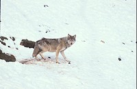 European Wolf Canis lupus Beside entrance to den S