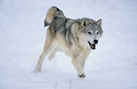 Grey Wolf Canis lupus Running _ snow on top of nose