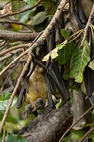Straw_coloured Fruit Bat Eidolon helvum flock, roosting in branches, daytime forest roost, Kasanka N P , Zambia