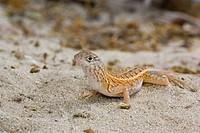 Three_eyed Lizard Chalarodon madagascariensis adult, on sand, Ifaty, Madagascar