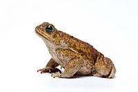 Cane Toad Bufo marinus adult, captive