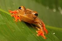 Harlequin Treefrog Rhacophorus pardalis adult, Danum Valley, Sabah, Borneo, Malaysia