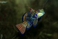 Mandarin Fish Synchiropus splendidus Male has long extension to dorsal fin