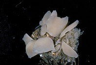 Calcereous Sponge Grantia compressa