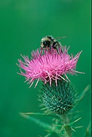 Bumble Bee Bombus terrestris On thistle head / collecting pollen