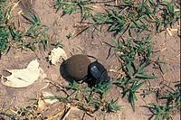 Dung or Scarab Beetle _ Botswana S