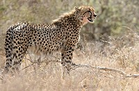 Cheetah, Kruger National Park