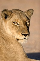 Portrait of a Lioness, Kruger National Park