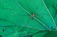 Cranefly Tipula oleracea adult, settled on leaf