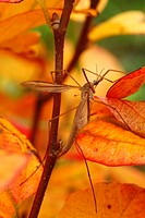 Cranefly Tipula oleracea adult female, resting amongst fothergilla leaves in garden, Powys, Wales, autumn