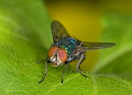 Greenbottle Lucilia caesar adult, resting on leaf, England