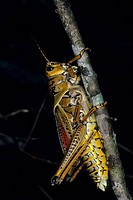 Southeastern Lubber Grasshopper Romalea microptera Florida, U S A