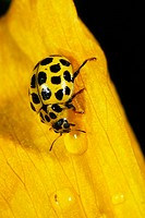 22_spot Ladybird Psyllobora vigintiduopunctata adult, on Welsh Poppy flower, drinking from raindrop, Powys, Wales