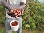Worker Holding Coffee Beans In Hands