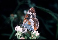 Butterfly _ Admiral White Ladoga camilla close_up / on flower S