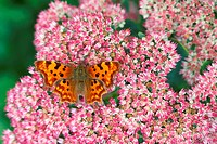 Comma Polygonia_c_album adult, feeding on sedum flowers in garden, England, summer