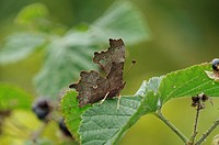 Comma Polygonia c_album adult, underside, resting on bramble leaf, Norfolk, England, september