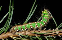 Spanish Moon Moth Graellsia isabellae caterpillar, feeding on scots pine needle
