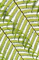Fern, frond detail, Botanical Gardens, Lamington N P , Queensland, Australia