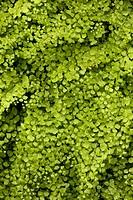 Maidenhair Fern Adiantum capillus_veneris fronds, growing beside spring, Andalucia, Spain