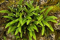 Rusty_back Fern Ceterach officinarum fronds, growing on old stone wall, France