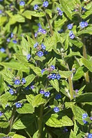 Alkanet Anchusa officinalis flowering, England