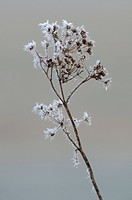 Cow Parsley Anthriscus sylvestris covered with hoar frost, North Kent Marshes, Kent, England, winter