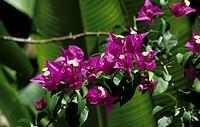 Bougainvillea Bougainvillea glabra flowering, Trinidad, Trinidad and Tobago
