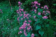Honesty Lunaria annua Plants in flower FL002864 S
