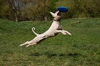 A Spanish Waterdog in mid_air catching a plastic disc