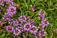 Common Selfheal Prunella vulgaris flowering, in grassland, England